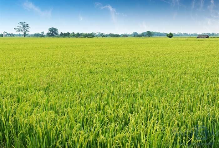 Criteria of eco fair products: Opportunities and challenges of exporting rice to the EU